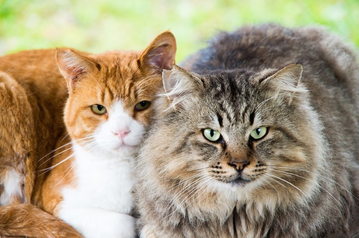 寄り添ってくつろぐ飼いやすいオスとメスの猫