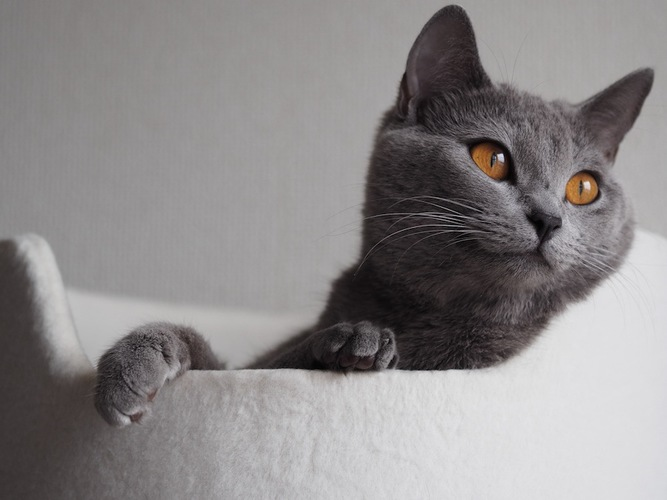 ベッドでくつろぐグレーの猫