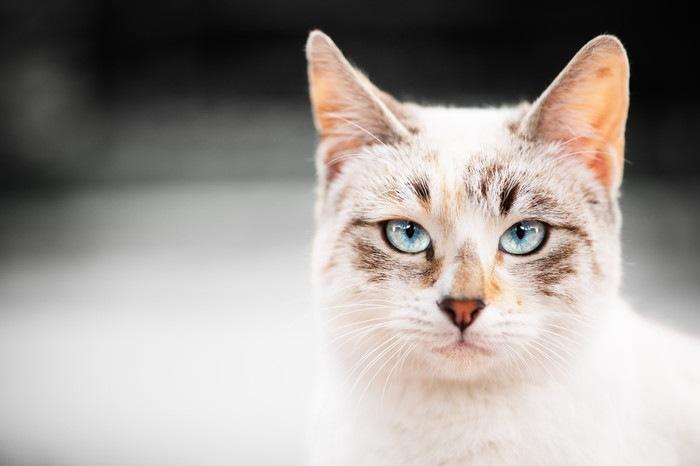 険しい表情の白い猫