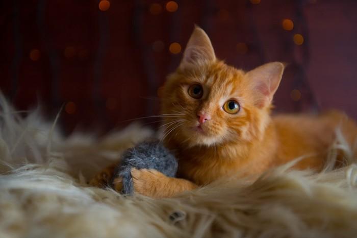 おもちゃをもつ茶猫