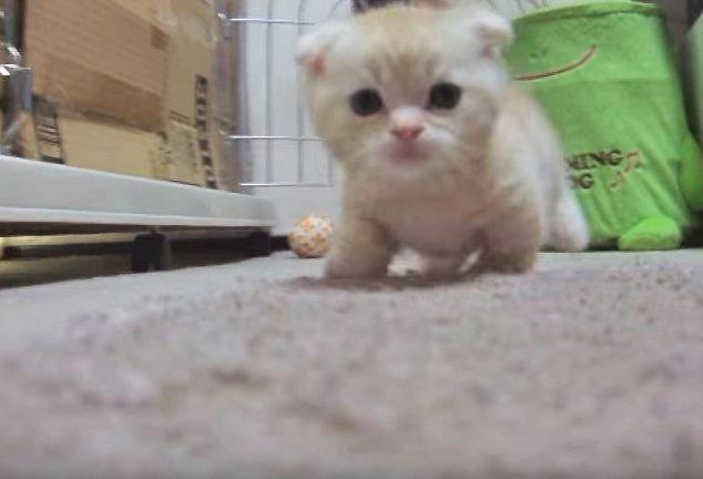 突進してくるマンチカンの子猫