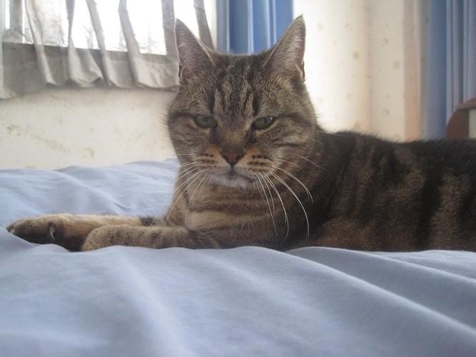 ベッドで横たわる猫