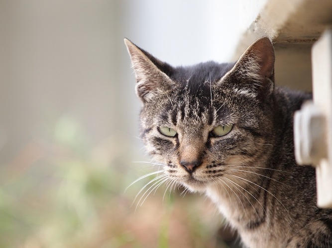 目つきの悪い猫