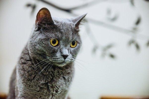 黄色い目の灰色猫