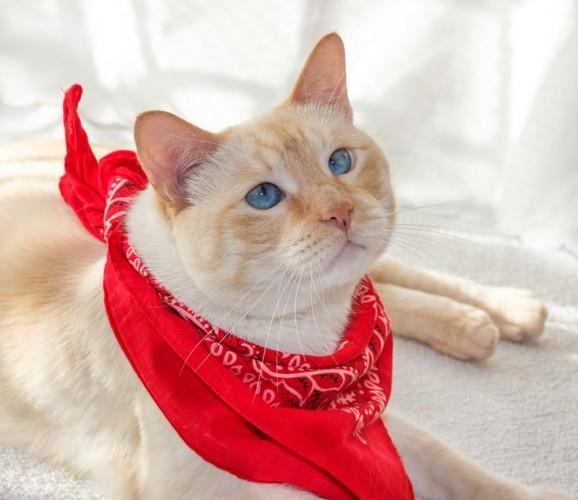 赤いバンダナをまいた猫