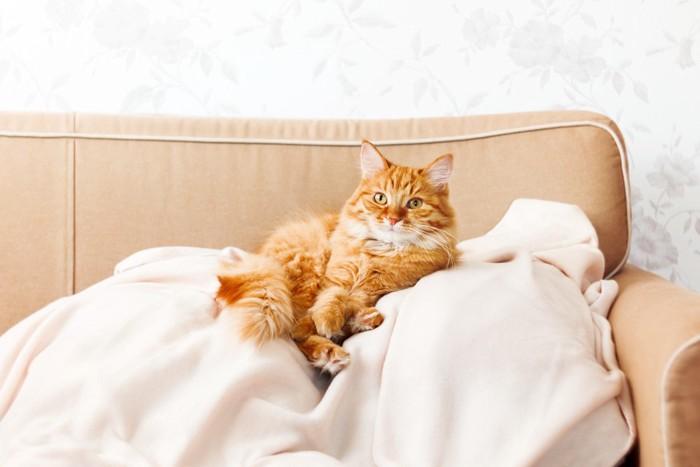 ソファの上の長毛の猫