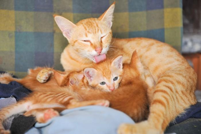 仔猫を舐める母猫