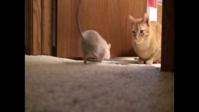 猫に近づくネズミ