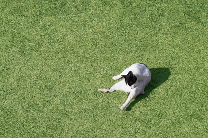 芝生の上で毛づくろいする猫