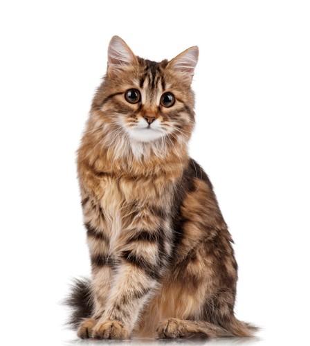 どっしりと座っている猫