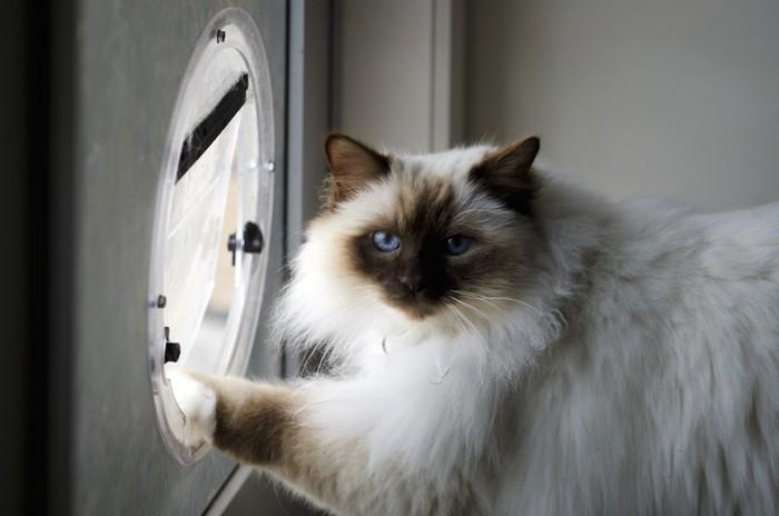 キャットドアに手をかける長毛猫