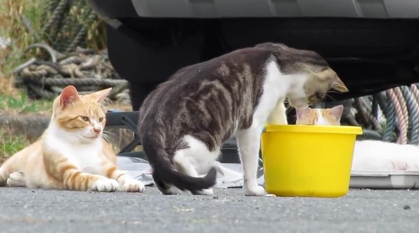 バケツに手を入れる手前の猫