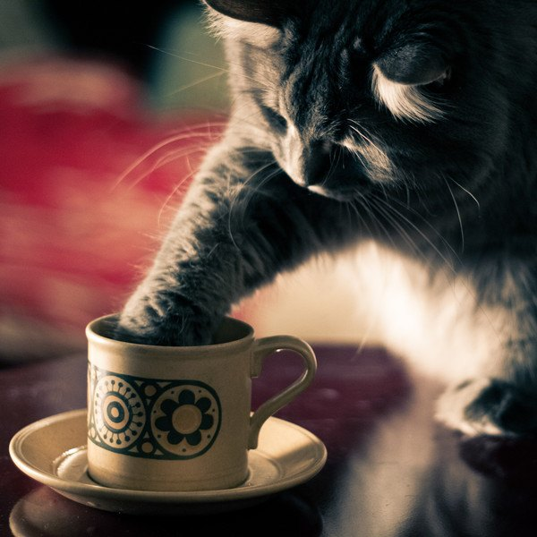コーヒーカップをちょいちょいする猫