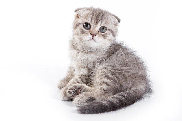 横山由依さんが飼っていそうな猫