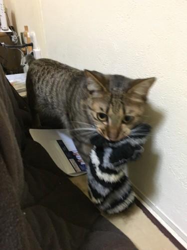 靴下をくわえる猫