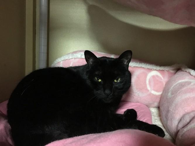 ピンクのベッドで寝る黒猫
