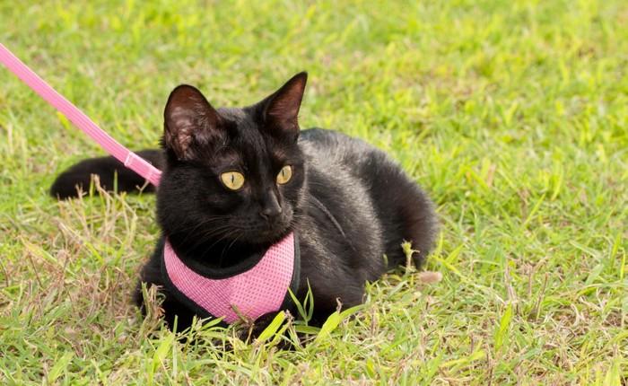 ハーネストレーニング中の猫