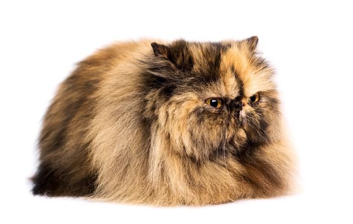 パーティーカラーのペルシャ猫