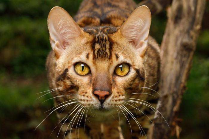 ベンガル猫 顔アップ