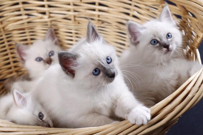 バスケットに入った子猫達