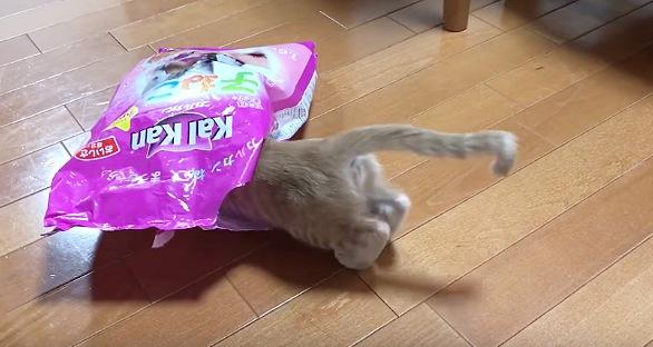 袋に突進する猫