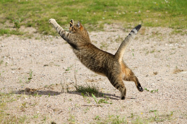 筋肉がありそうな猫