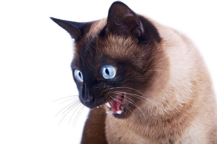 大きく口を開けるシャム猫