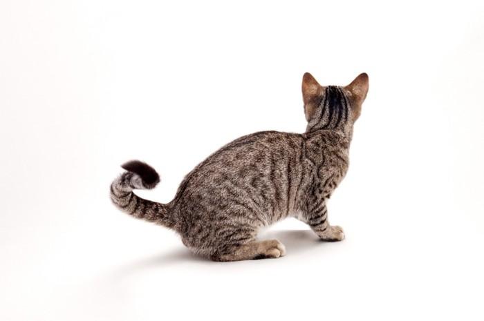 後ろ姿の猫