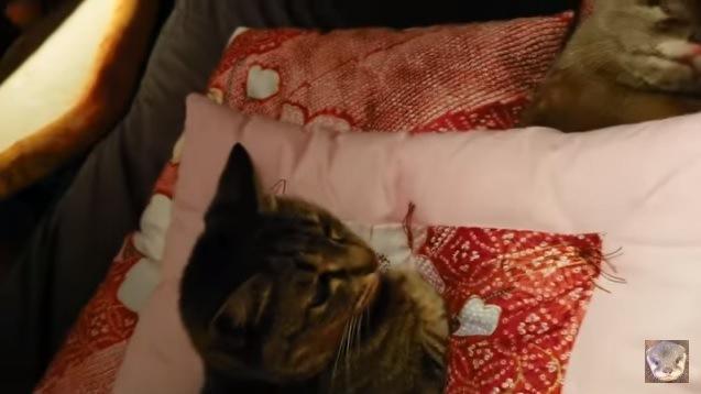 カワウソを見つめる猫
