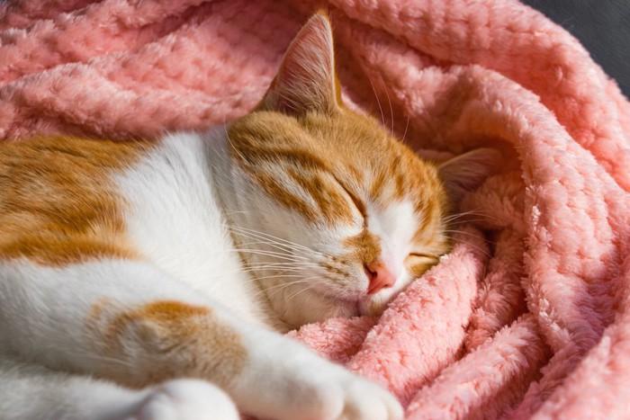 毛布でぐっすり眠る茶白トラ猫