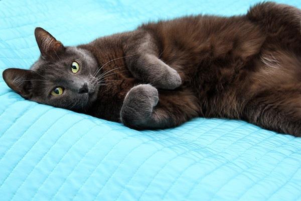 水色のマットの上で寝るグレーの猫