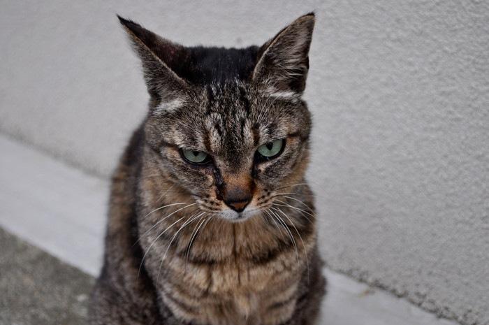 こちらを向き怒る猫