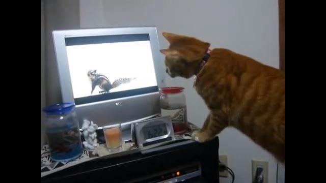 テレビに顔を近付ける猫