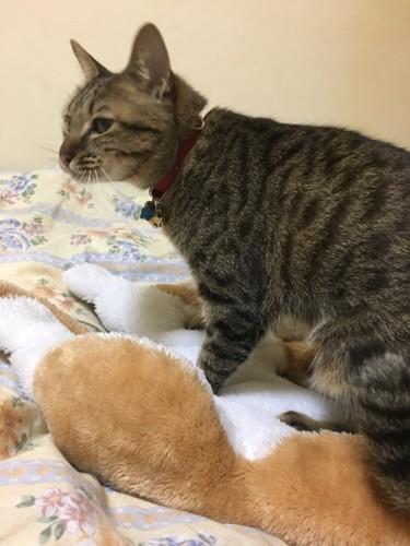 ぬいぐるみをフミフミする猫