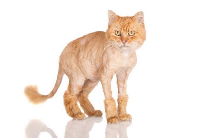 サマーカットした猫