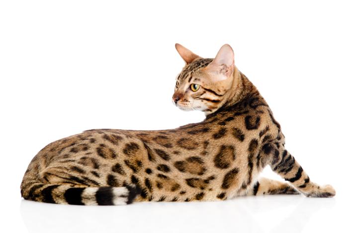 ブラウンの毛が生えているベンガル猫