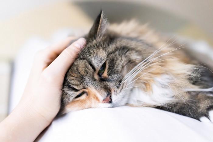 飼い主に撫でられている猫