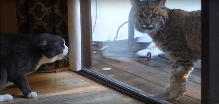 対峙するイエネコとヤマネコ
