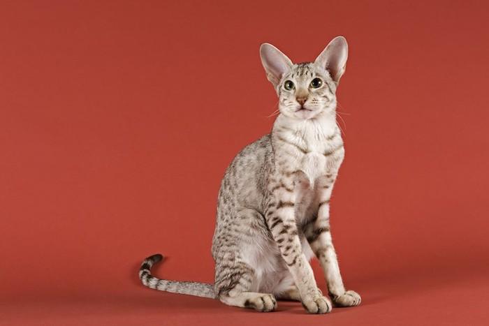 赤い背景と座る細身の猫