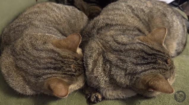 同じポーズで並んで眠る2匹の猫