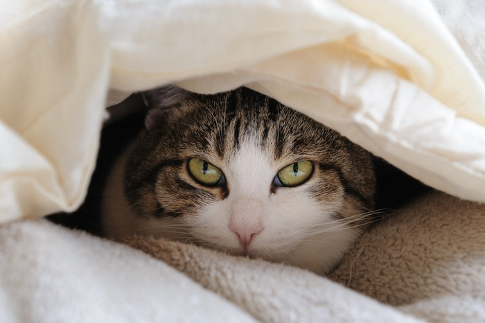 布団に潜り込んでこちらを見つめる猫