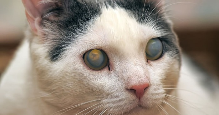 Cloudy Eye In Young Cat