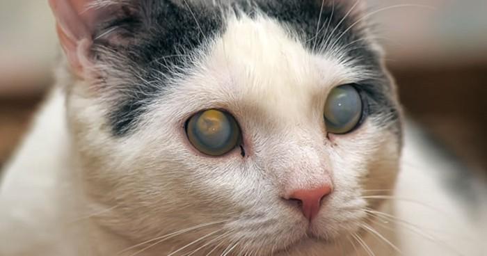 両目が白く濁った猫