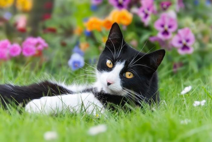 花畑で振り返るハチワレ猫