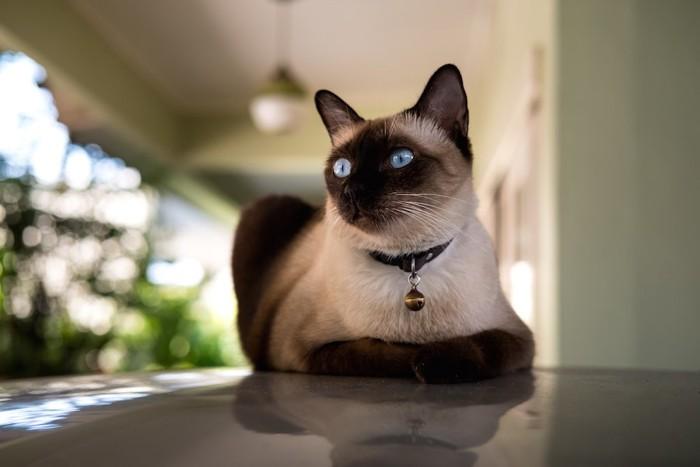 前足を畳んで座るシャム猫