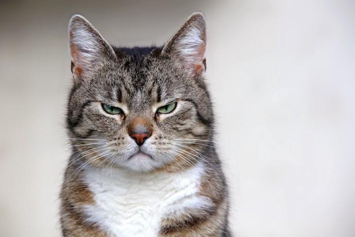 不機嫌な表情でこちらを見つめる猫