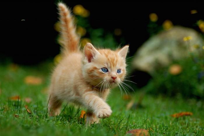 芝生の上を元気よく歩く可愛すぎる子猫