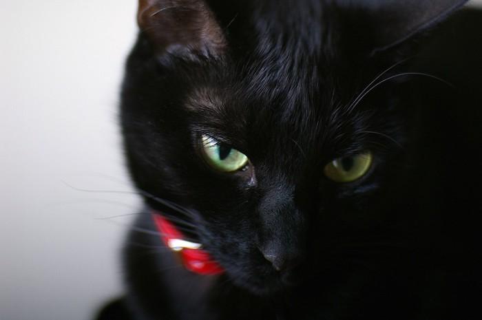 赤い首輪の黒猫アップ