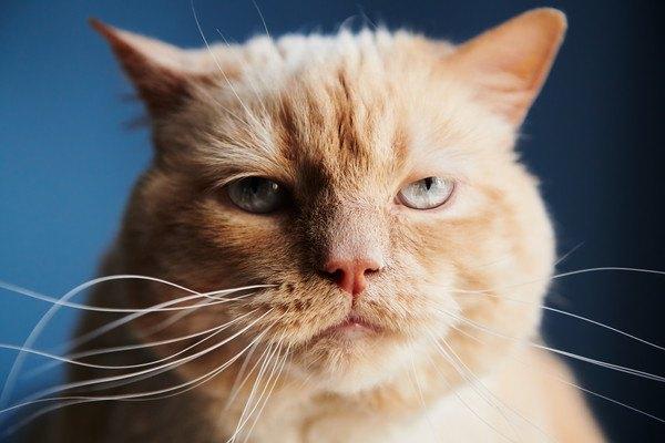 背景が青く面倒くさそうな茶色のキジ猫