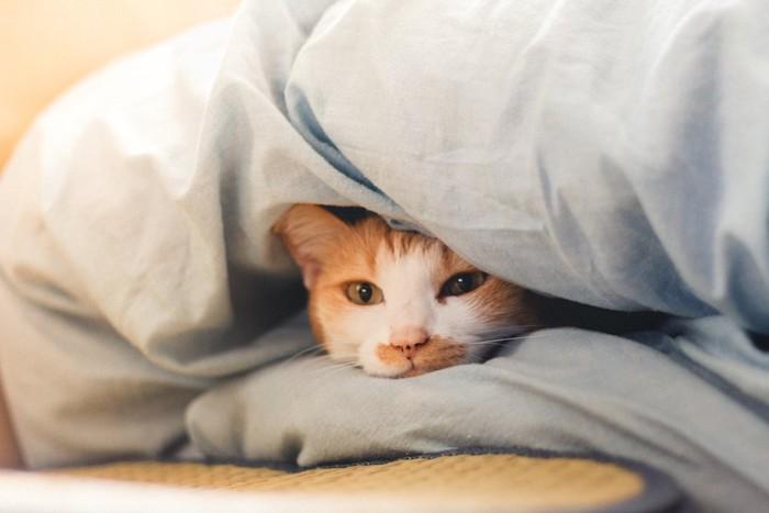 夏用ベッドの布団の中から顔を出す猫